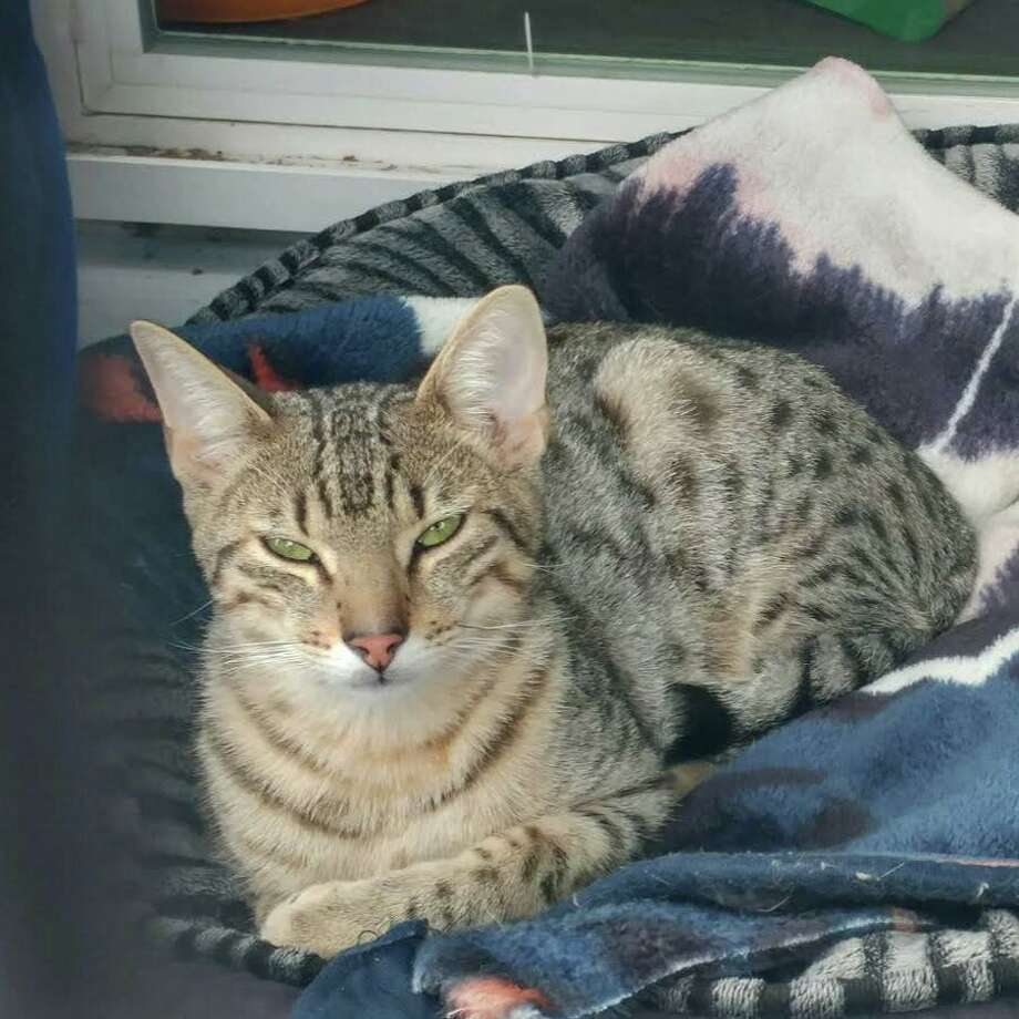Quixote was a shelter cat at Shoreline's Whisker City Cat Rescue who was killed by an intruder Monday. The shelter is raising money in an effort to find the suspect. Photo: Whisker City Cat Rescue