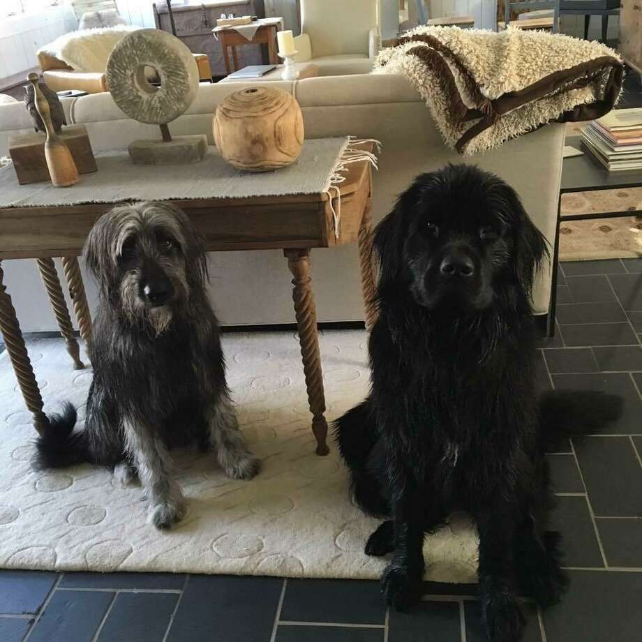 Ernie, an Irish wolfhound, and Beatrice, a Newfoundland, live at 71 Belltown Road. Their owner is moving so they can have a bigger yard. Photo: Contributed