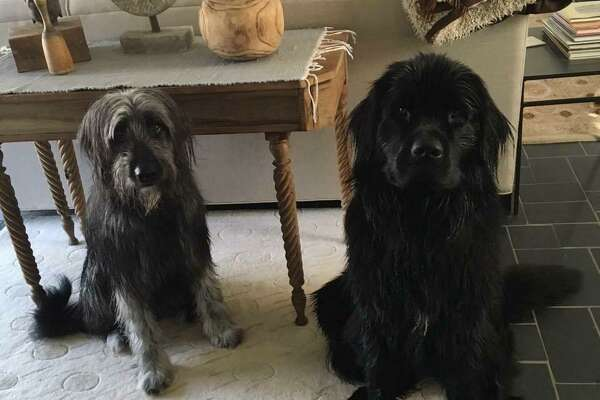 Ernie, an Irish wolfhound, and Beatrice, a Newfoundland, live at 71 Belltown Road. Their owner is moving so they can have a bigger yard.