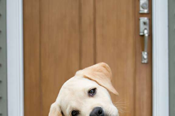 Yellow Labrador Retriever puppy tilting his head in curiosity. Looking right at camera. Selective Focus.Interested in more dog shots...click the link below.