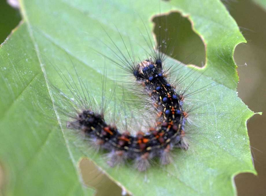 In this June 1, 2016 photo, a gypsy moth caterpillar crawls on a leaf in Plainfield, Conn. Last year's dry spring, coupled with the recent stretch of dry weather, is being blamed for the resurgence of the caterpillar across parts of southern New England. Scientists said this year's crop is one of the largest since the 80s. Photo: Aaron Flaum /NorwichBulletin.com Via AP