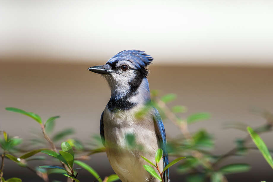 Blue jays squawk a lot but there's more to their squawking than meets the ear. Photo: Kathy_Adams_Clark / Kathy Adams Clark/KAC Productions