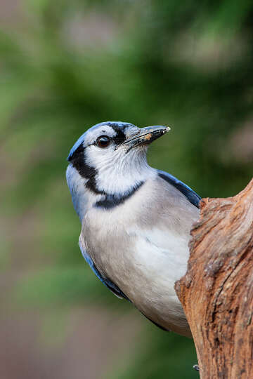 Why blue jays are such noisy birds - HoustonChronicle com