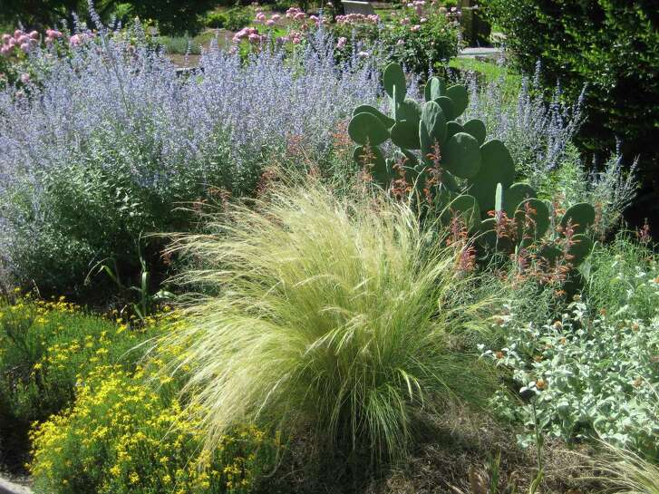 Mexican feather grass works beautifully in this summer scene with Russian sage and prickly pear cactus.