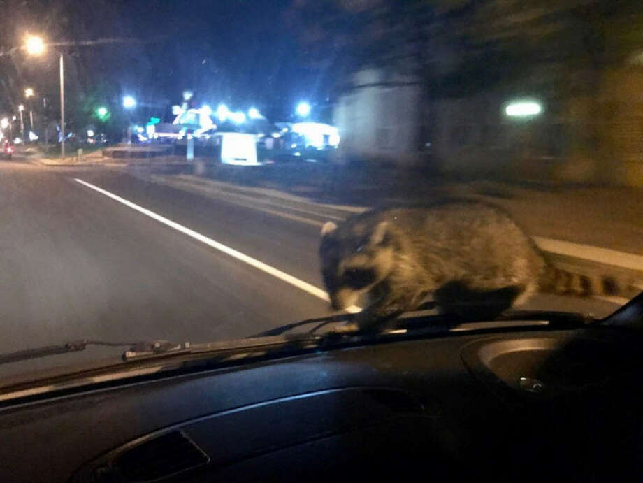 A raccoon was a surprise ride along with the Colorado Springs Police Department on Sept. 21, 2017. Officer Frabbiele was able to safely pull over and safely get the raccoon off of his patrol car. Photo: Colorado Springs Police Department