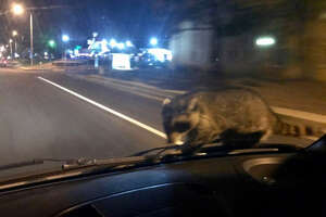 A raccoon was a surprise ride along with the Colorado Springs Police Department on Sept. 21, 2017. Officer Frabbiele was able to safely pull over and safely get the raccoon off of his patrol car.