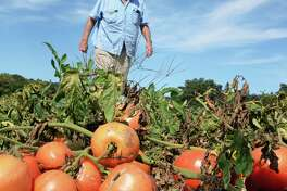 Farmer Larry De Voe looks over his tomato crop at De Voe's Rainbow Orchards Friday Sept. 22, 2017 in Clifton Park, NY.  (John Carl D'Annibale / Times Union)