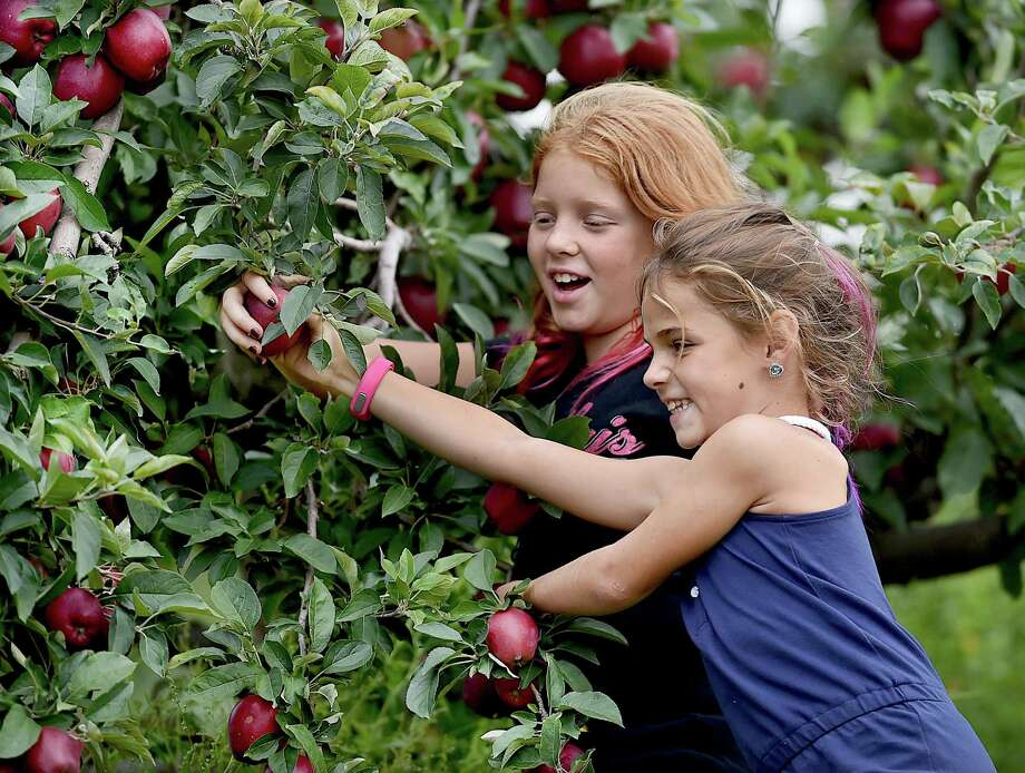 Summer Christiano, 8, of Monro and her  sister Kaela, 10, have fun during their annual apple picking pilgrimage at Lyman Orchards in Middlefield Thursday. Photo: Catherine Avalone / Hearst Connecticut Media / New Haven Register