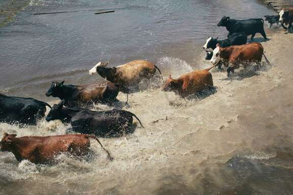 Harvey destroyed about 100,000 acres of rice, stranded 2,500 livestock in emergency shelters and left soggy tufts of cotton spread across muddly fields. Thousands of cattle died; those who survived may succumb to pneumonia. An aerial view shows cattle running through floodwaters on ranch land south of Damon, Texas. (Alyssa Schukar/The New York Times)