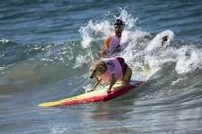 A surfing dog rides a wave during the Surf City Surf Dog competition in Huntington Beach California on September 23, 2017. Over 40 dogs from the USA, Brazil and Canada competed in the annual Surf City Surf Dog Competition in which dogs surfed on their own or in tandem with their humans.