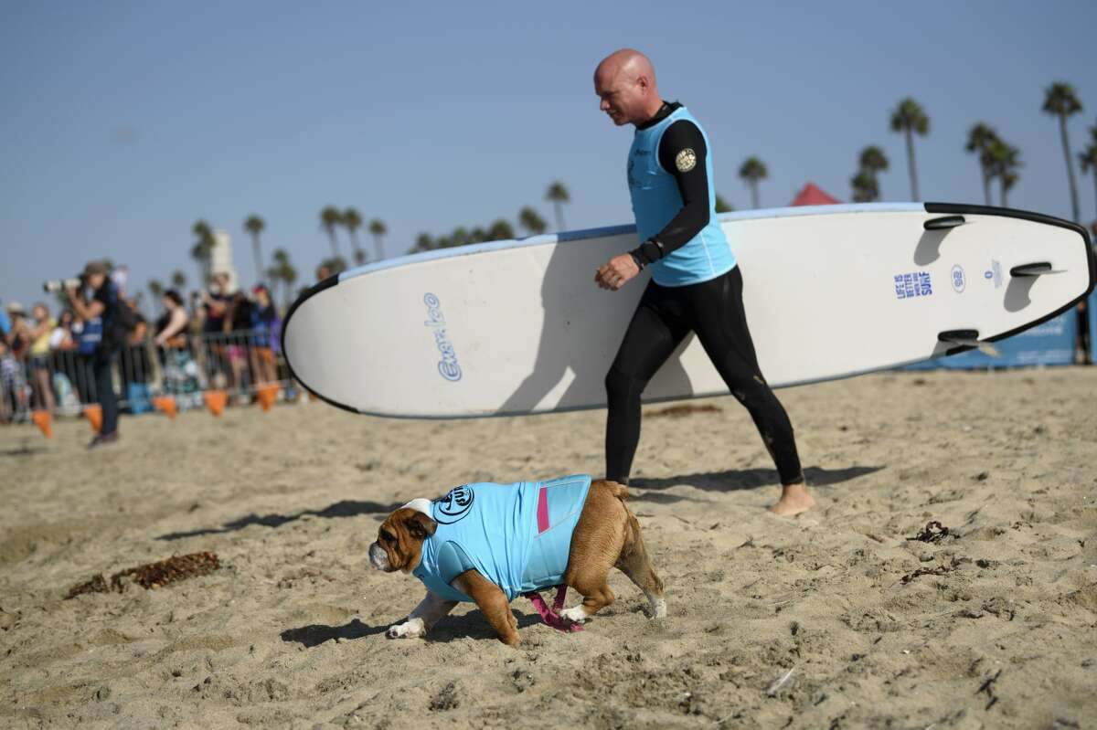 Participants rush to the water at the beginning of their surf heat during the Surf City Surf Dog competition in Huntington Beach California on September 23, 2017. Over 40 dogs from the USA, Brazil and Canada competed in the annual Surf City Surf Dog Competition in which dogs surfed on their own or in tandem with their humans.