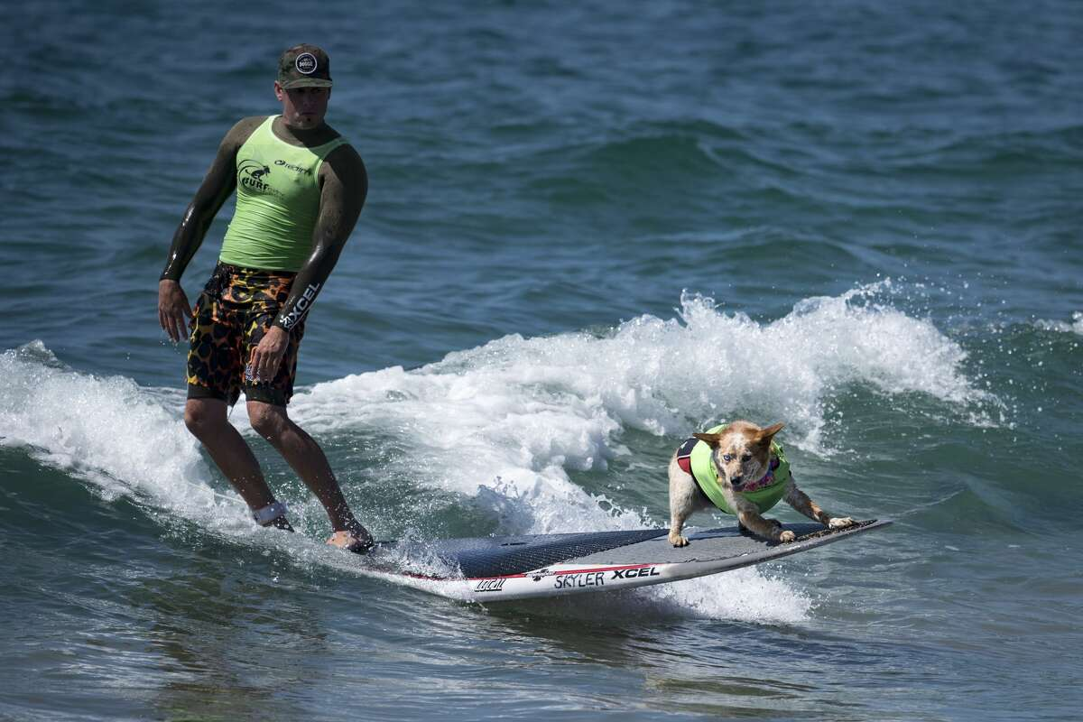 Competitors in the tandem heat at the Surf City Surf Dog competition in Huntington Beach California on September 23, 2017. Over 40 dogs from the USA, Brazil and Canada competed in the annual Surf City Surf Dog Competition in which dogs surfed on their own or in tandem with their humans.
