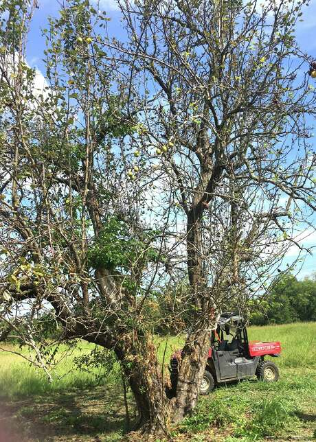 This is a magnificent, 150-year-old pear tree, but it's on the decline. The main trunk looks like it either died from some natural causes or was hit by lightning many years ago. The new trunks have grown up around it. Photo: Courtesy Photo