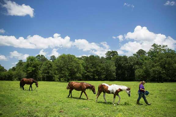 Dakoda, left, who bolted from Deanna Owens when he spooked while seeing a pond for the first time, hesitantly follows Owens and her other horses as she tries to coax him back into his pen with a treat Wednesday, June 14, 2017 in Nacogdoches.
