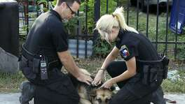 San Antonio Animal Care Services Field Operations Manager Shannon Sims (left) and Animal Care officer Kassi Bennett (right) place a leash on a German shepherd that wandered outside of its owners fence on San Antonio's West Side. The dog was returned to its owner the gate to the property was closed.