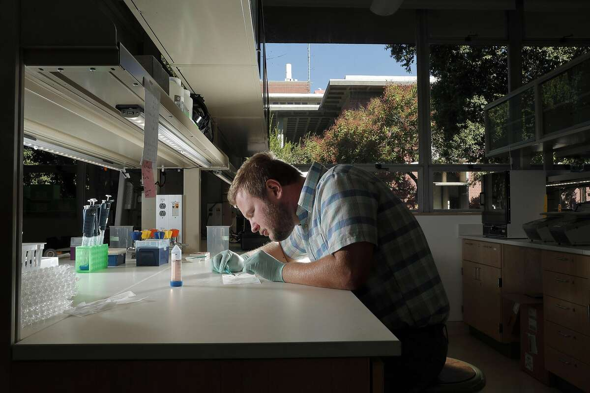 Zane Moore, researcher and graduate student, removes the embryo and megagametophyte from the redwood seed coat in Neale Lab in the Department of Plant Sciences at University of California Davis in Davis, Calif., on Monday, September 25, 2017. The work sequencing the genome of coast redwoods and giant sequoias is being done under a grant from San Francisco-based Save the Redwoods League. Scientists are attempting for the first time to understand redwood genetics, which are much more complicated than even the genome of humans.