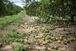 Fruit sits on the ground below orange trees at the Alico Inc. Lake Patrick Grove in Frostproof, Florida, U.S., on Monday, Sept. 11, 2017. Hurricane Irma smashed into Southern Florida as a Category 4 storm, driving a wall of water and violent winds ashore and marking the first time since 1964 the U.S. was hit by back-to-back major hurricanes. Photographer: Daniel Acker/Bloomberg