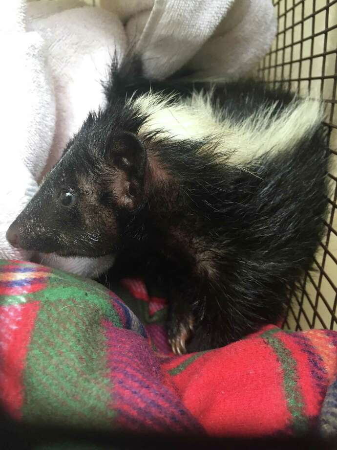 A young skunk rests comfortably after he was rescued by Animal Care Services from a Dumpster on Monday near I-10 and Vance Jackson. Photo: Courtesy Photo /Animal Care Services