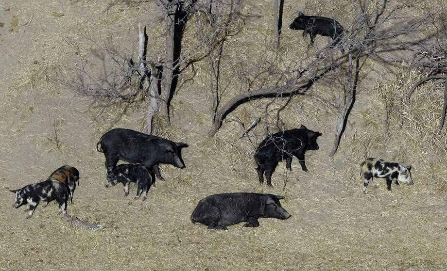 Feral pigs roam near a Mertzon, Texas, ranch. A reader condemns a plan by State Agricultural Secretary Sid Miller to poison the feral pig population in Texas. Photo: Eric Gay /AP / AP