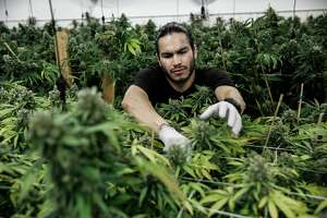 Production supervisor Joshua Ramos cuts marijuana buds at ButterBrand farms in San Francisco, California, on Monday, Oct. 31, 2016.