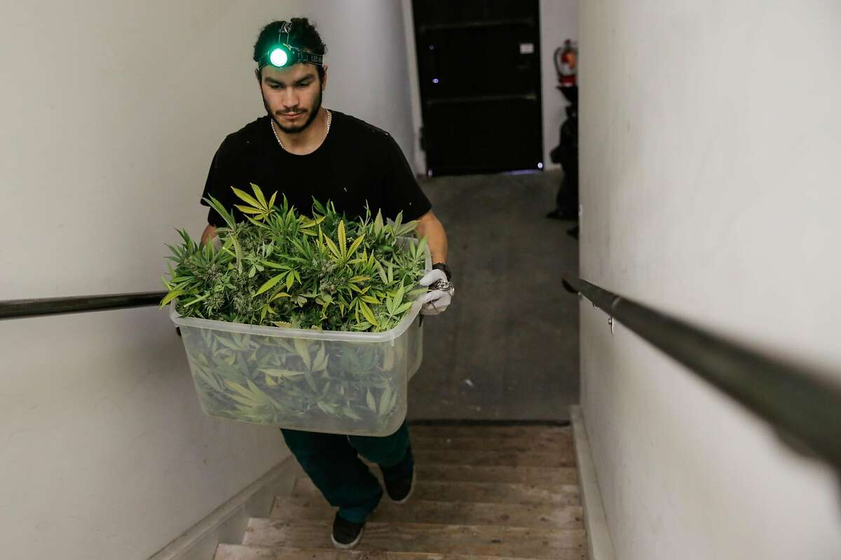 Production supervisor Joshua Ramos carries a bucket full of marijuana through the stairwell, at ButterBrand farms in San Francisco, California, on Monday, Oct. 31, 2016.