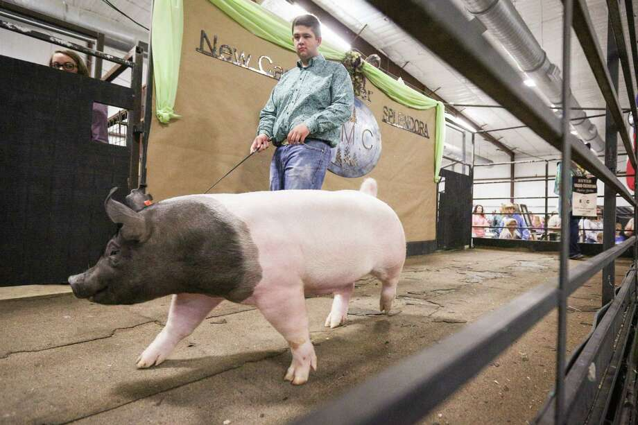 New Caney FFA's Justin Cantrell shows his grand champion swine during the East Montgomery County Fair Auction on Saturday, Sept. 16, 2017, at A.V. 'Bull' Sallas Park in New Caney. Photo: Michael Minasi, Staff Photographer / © 2017 Houston Chronicle