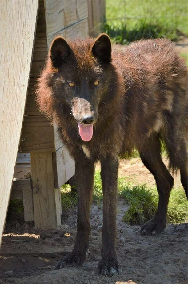 LeRoux is a 97 percent wolf that is raised in Orange County. LeRoux has been missing since he fled flooding during Harvey on Aug. 28. Photo courtesyof his owner, Jerry Mills.