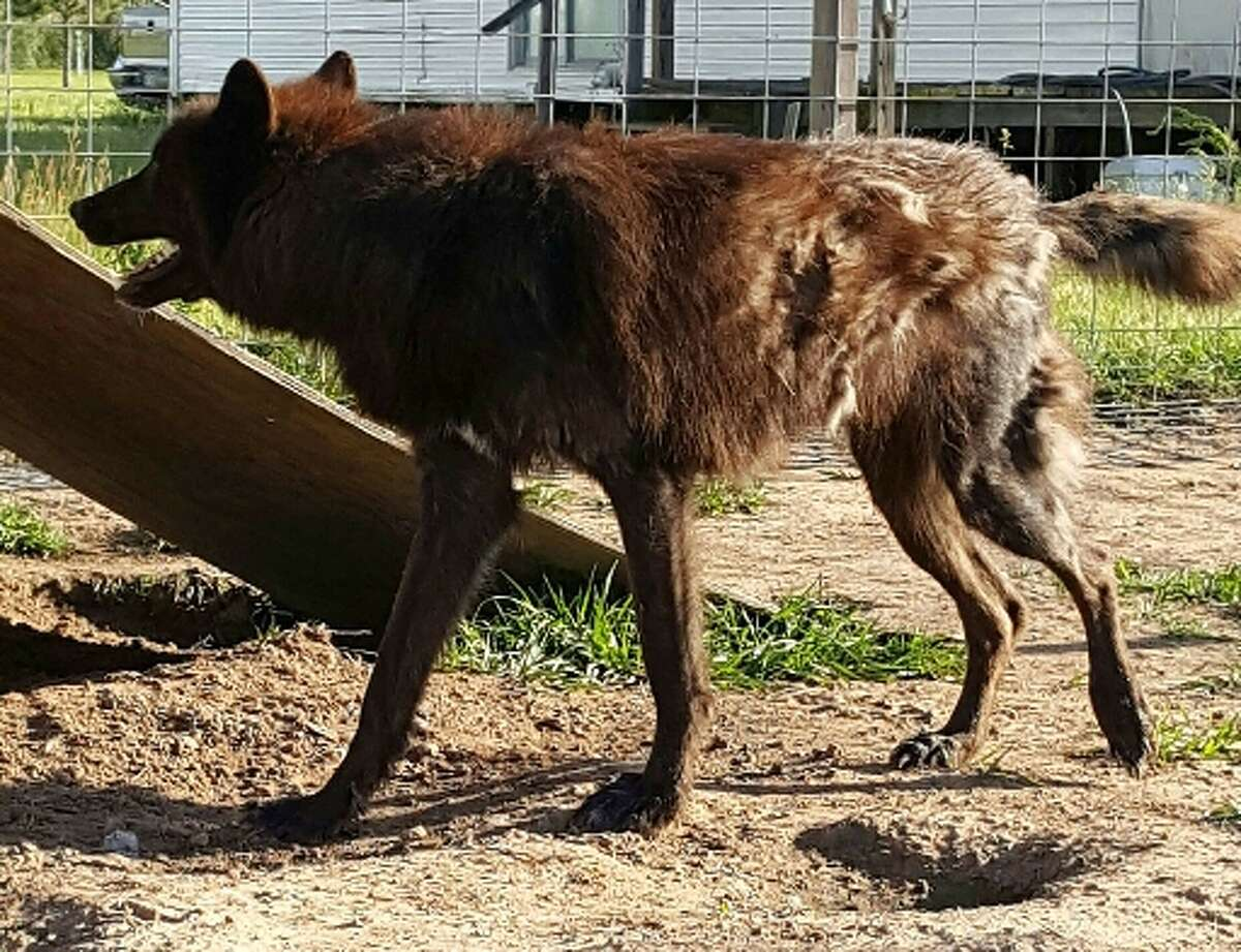 LeRoux is a 97 percent wolf that is raised in Orange County. LeRoux has been missing since he fled flooding during Harvey on Aug. 28. Photo courtesy of his owner, Jerry Mills.