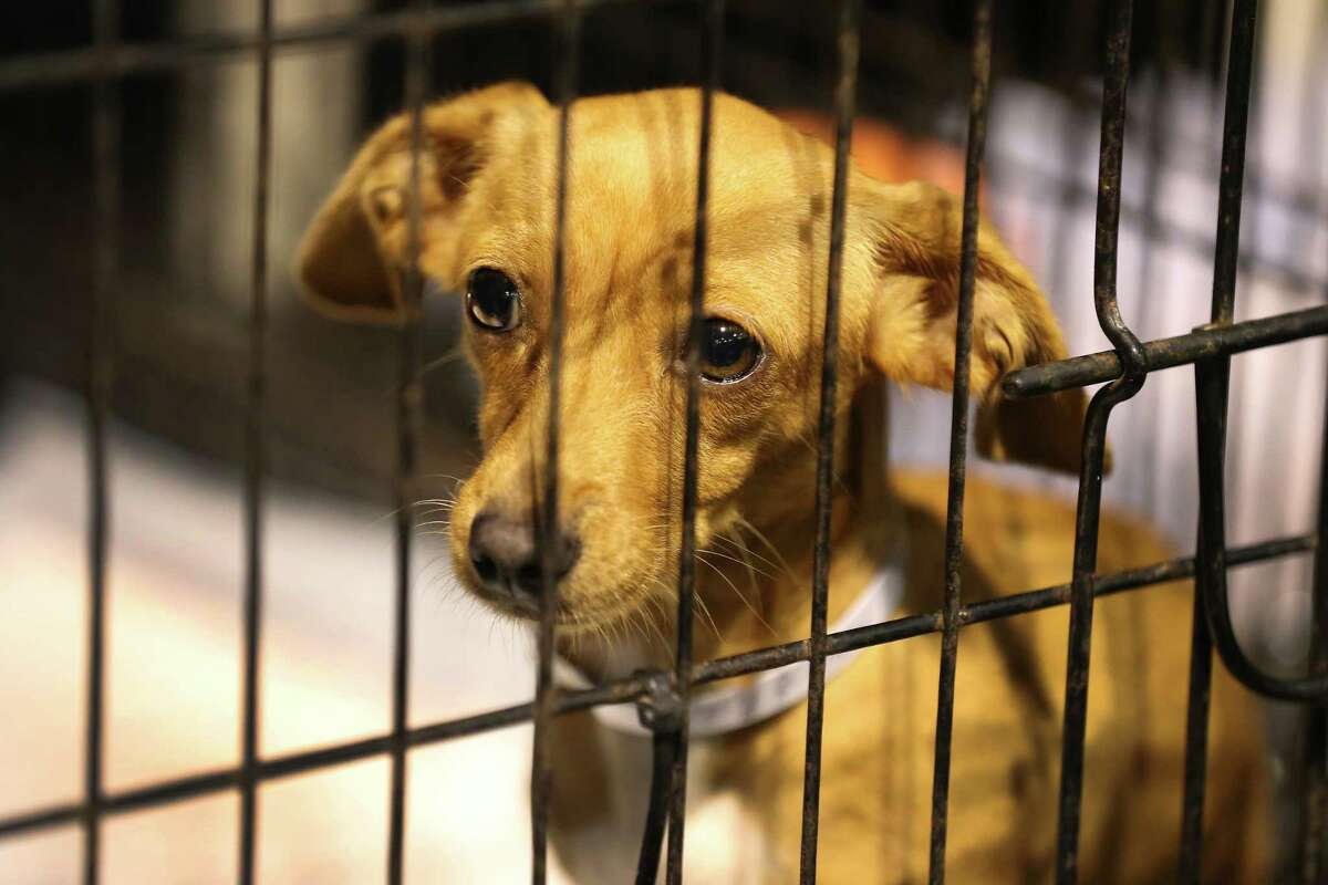 A dog waits at the NRG Arena to be fostered or adopted Thursday, Sept. 28, 2017, in Houston. Best Friends Society still has some 400 dogs and 100 cats at the Pet Reunion Pavilion, which opened a few weeks ago after Hurricane Harvey. The society says it won't leave until every pet is reunited, placed in foster home or adopted.
