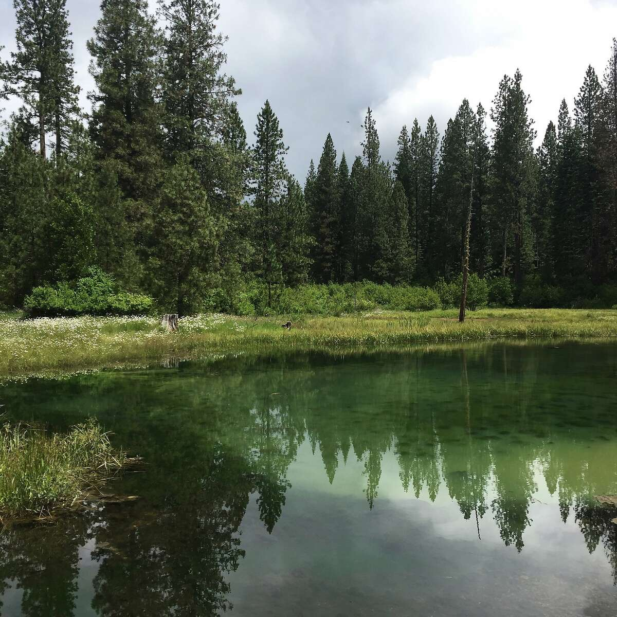 P McCloud Soda Springs Working Forest, photo credit Pacific Forest Trust, taken in June 2016.