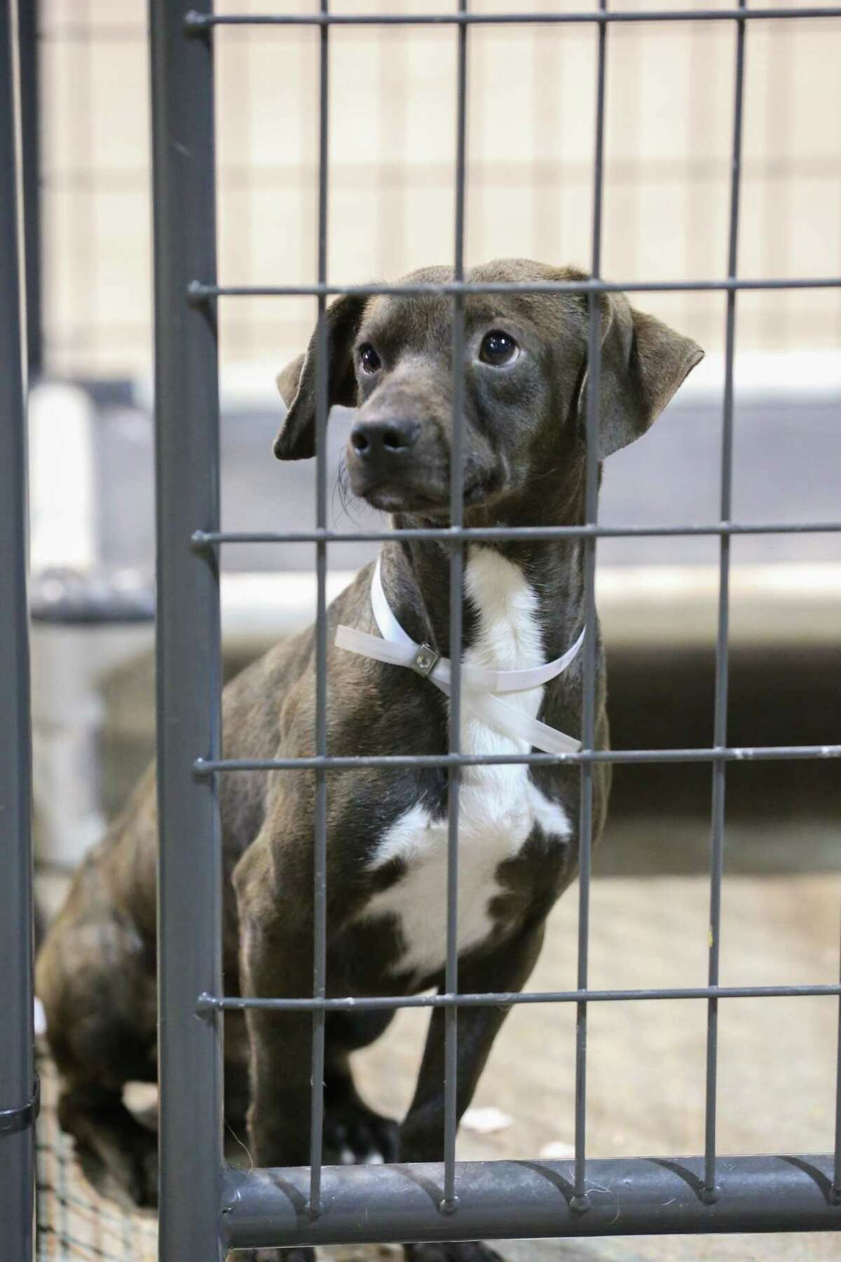 A dog waits at the NRG Arena to be fostered or adopted Thursday, Sept. 28, 2017, in Houston.Best Friends Society still has some 400 dogs and 100 cats at the Pet Reunion Pavilion, which opened a few weeks ago after Hurricane Harvey. The society says it won't leave until every pet is reunited, placed in foster home or adopted. Thursday, Sept. 28, 2017, in Houston. ( Steve Gonzales / Houston Chronicle )