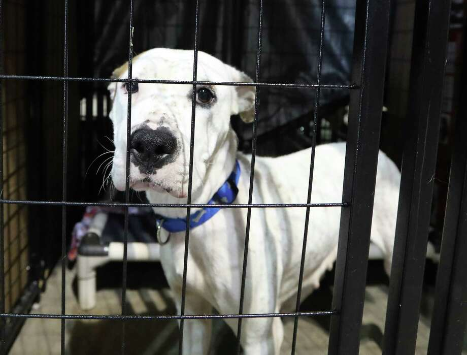 A dog waits at the NRG Arena to be fostered or adopted Thursday, Sept. 28, 2017, in Houston. Photo: Steve Gonzales, Houston Chronicle / © 2017 Houston Chronicle