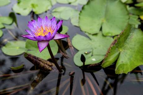 A water lily blooms at the renovated Mercer Arboretum.