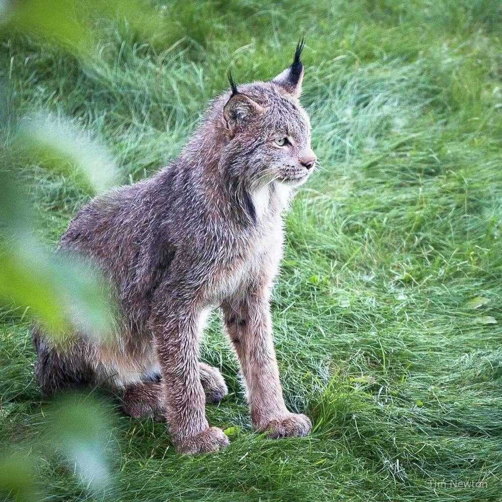 Worksheet. Family portrait Mother lynx 7 kittens visit photographers deck