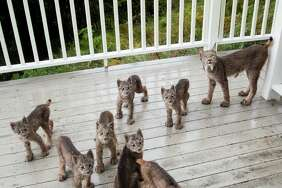 A photographer in Alaska was afforded an incredible opportunity when a mother lynx and her seven kittens wandered onto his deck and had a little play session in September.