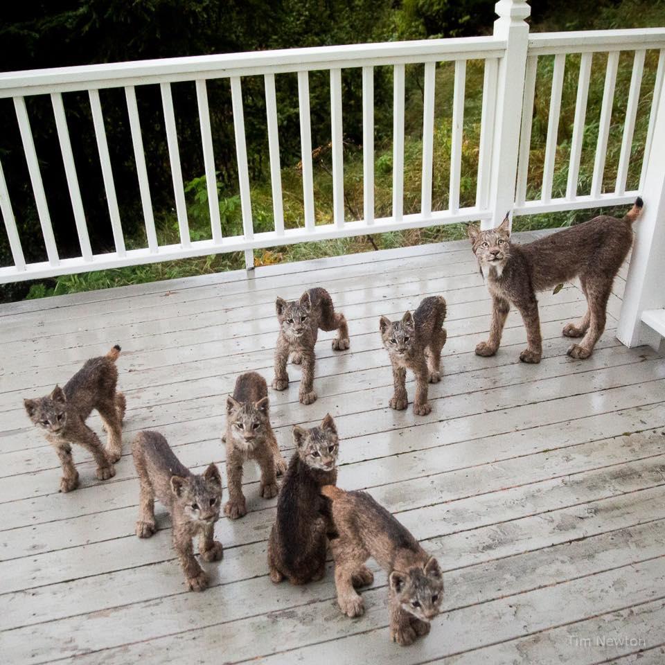 Family portrait: Mother lynx, 7 kittens visit photographer's deck