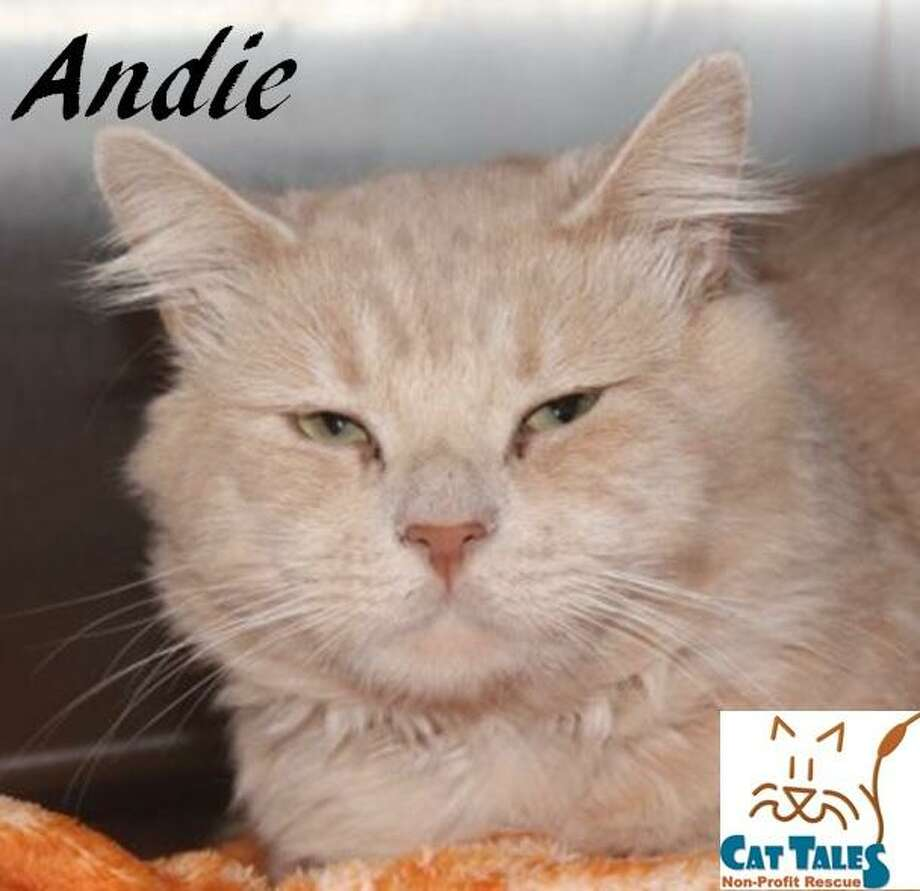 Andie is waiting at Cat Tales for his new forever home. Photo: Contributed Photo / Not For Resale