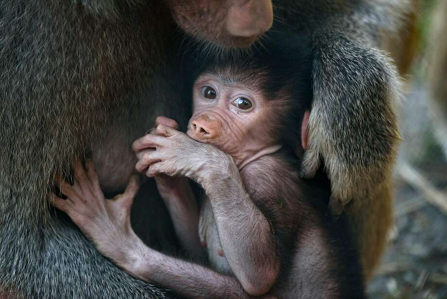 One month old baboon Kito clings onto his mother Krista in their enclosure at the Oakland Zoo in Oakland, Calif., on Thursday, September 28, 2017. Photo: Michael Short, Special To The Chronicle