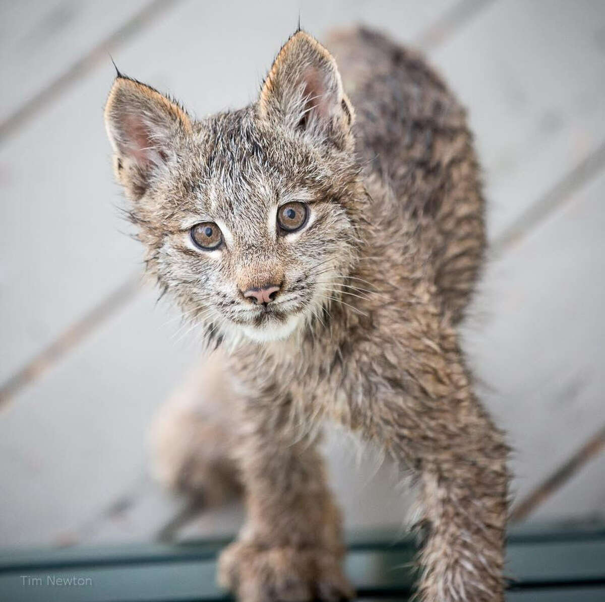 Tim Newton of Anchorage, Alaska captured photos of a family of lynx cats who played on his porch in September 2017.