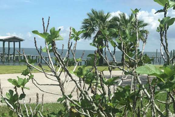 A small, spindly fig bush in a bayfront yard is a pale reminder of San Leon's figgy past.