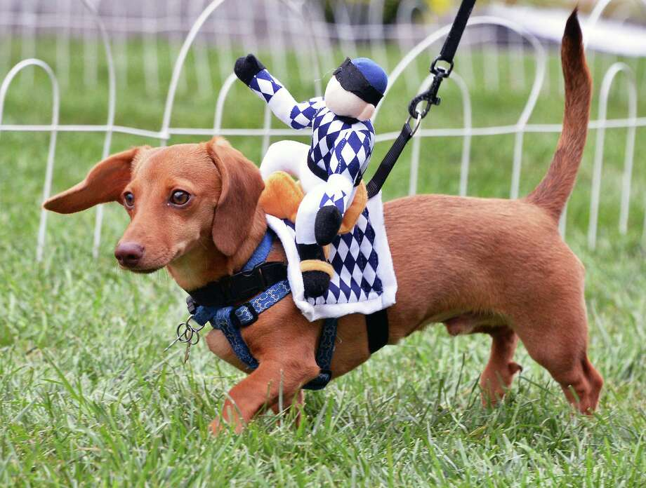 """Peanut from Worcester, Mass., warms up for the dachshund """"Wiener Dog"""" races at the 9th Annual OKTOBERFEST Block Party Saturday Sept. 30, 2017 in Albany, NY.  (John Carl D'Annibale / Times Union) Photo: John Carl D'Annibale / 20041470A"""