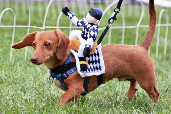 "Peanut from Worcester, Mass., warms up for the dachshund ""Wiener Dog"" races at the 9th Annual OKTOBERFEST Block Party Saturday Sept. 30, 2017 in Albany, NY. (John Carl D'Annibale / Times Union)"