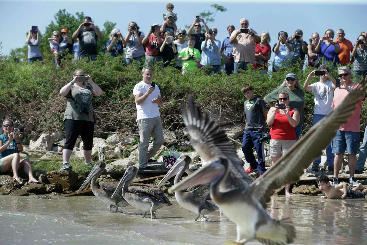 People watch during a brown pelican releasing event by the SPCA's Wildlife Center of Texas at Carothers Coastal Gardens, 502 Pine Gully Rd., Saturday, in Seabrook.
