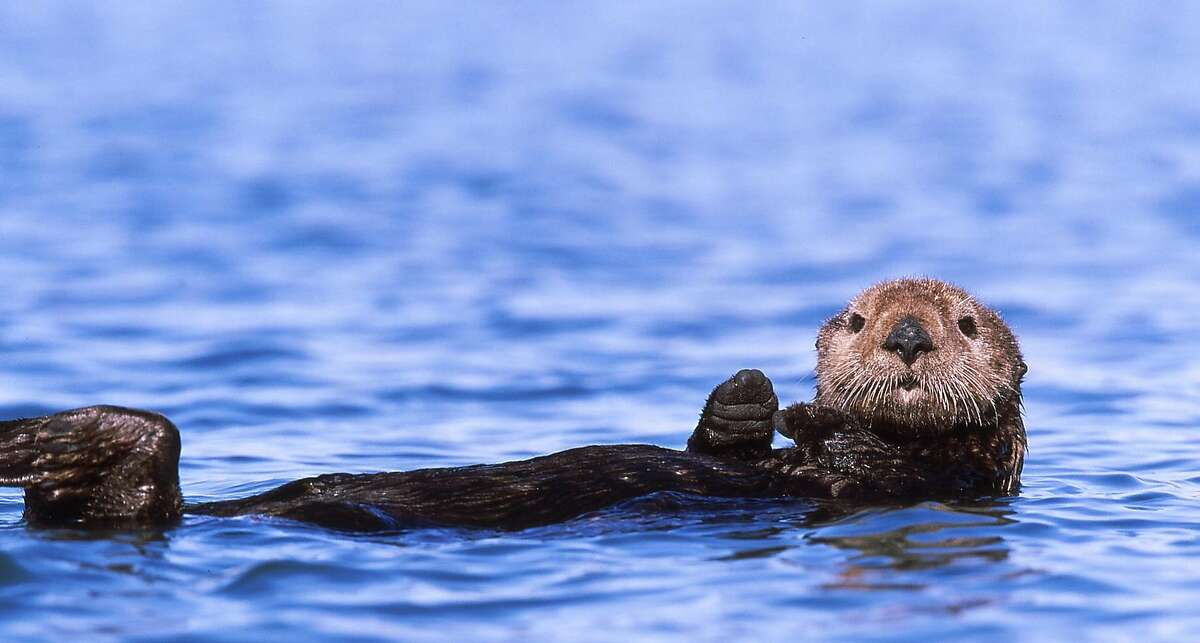 In a major victory for sea otters, the U.S. Ninth Circuit Court of Appeals Thursday ruled against bringing back a