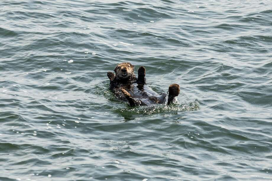 A sea otter seemingly waves to passerby on a Stagnate Whale Watching boat in Monterrey Bay off of Moss Landing, Calif., Thursday, April 9, 2015. Photo: Jason Henry, Special To The Chronicle