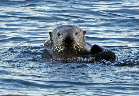 A sea otter bobs in the calm waters of Morro Bay. Photo: Reed Saxon / Associated Press 2010