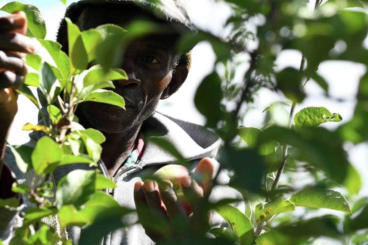Howard Stone, a migrant worker from Jamaica, picks apples at India Ladder Farms on Thursday, Sept. 28, 2017, in Altamont, N.Y. Farmers rely heavily on immigrant workers to keep their farms running. Without them, food prices could rise, imports could increase and the economy could suffer. (Will Waldron/Times Union)