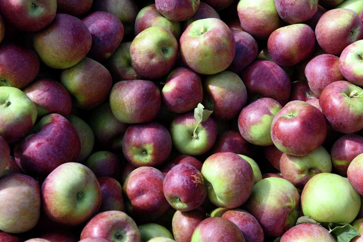 Cortland apples are collected in a hopper at India Ladder Farms on Thursday, Sept. 28, 2017, in Altamont, N.Y. (Will Waldron/Times Union)