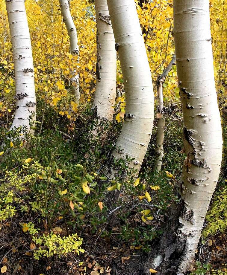 Crooked trunks and autumn foliage make interesting subjects for creating fall photographs in the eastern Sierra Mountains near Lundy Lake about 45 miles north of Mammoth Lakes, Calif., in this Oct. 2, 2004, file photo.  Photo: LARA HARTLEY, AP