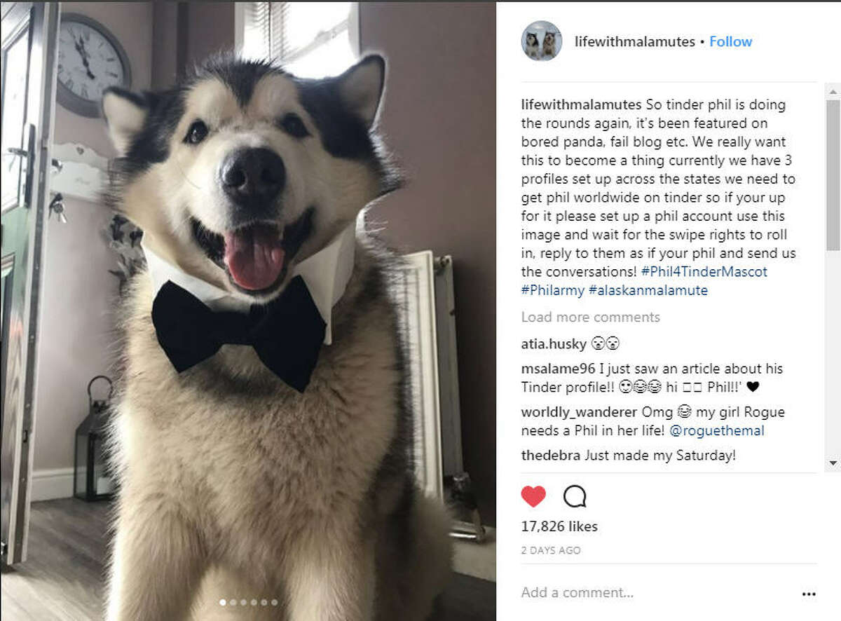 Phil's human recently set up a tinder profile for him, complete with a dapper photo of him wearing a bow tie. The conversations he's had since are adorable... via lifewithmalamutes